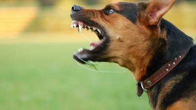 bigstock-Angry-Dog-With-Bared-Teeth-6826784